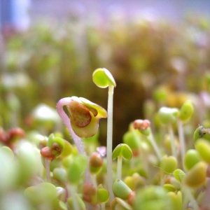 Seeds for Sprouting or Microgreens