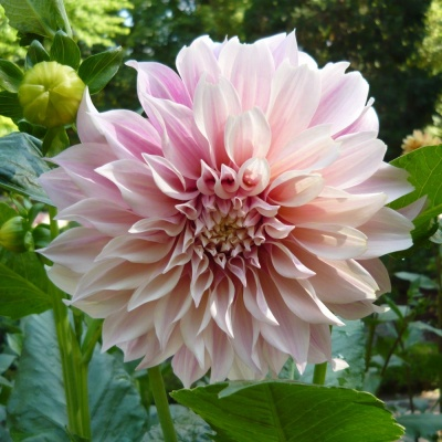Dahlias - Planting and Aftercare