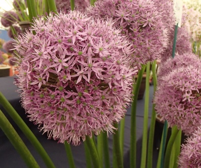 Allium  'Gladiator'  - 3 potted bulbs