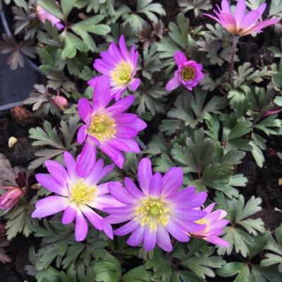 Anemone blanda 'Pink Star' - potted
