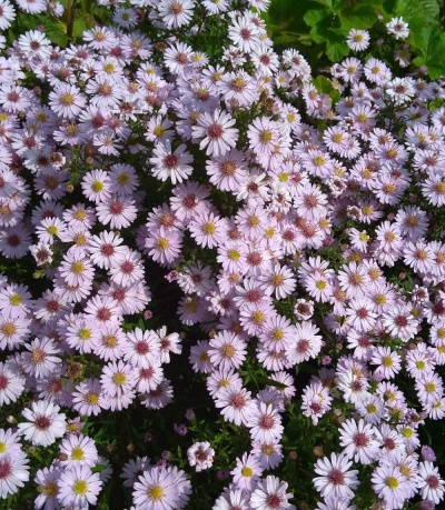 Aster   'Small Ness'