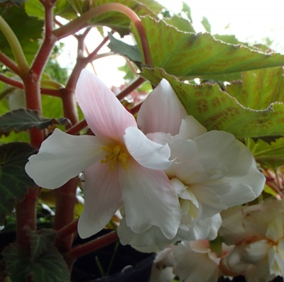 Begonia scented - white