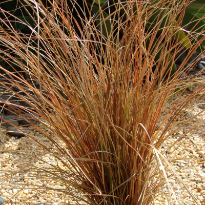 Carex 'Bronco'