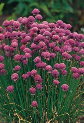 Chives - Seeds