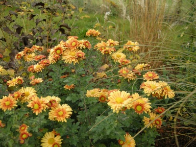 Chrysanthemum  'Goldengreenheart'