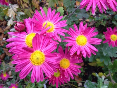 Chrysanthemum  'Suffolk Pink'