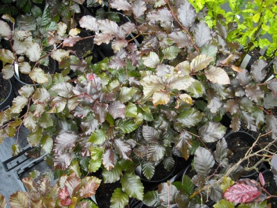 Fagus sylvatica Atropurpurea Group