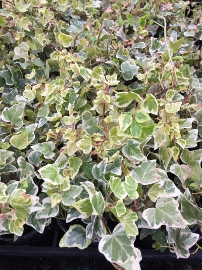 Ivy mixed variegated (Hedera helix)