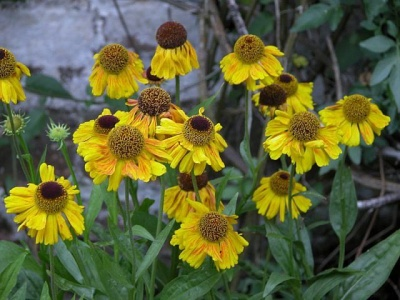 Helenium  'Wyndley' x 3 bare root plants