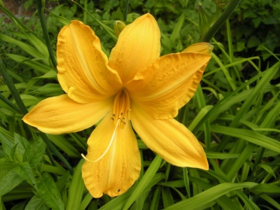 Hemerocallis  'Cartwheels'