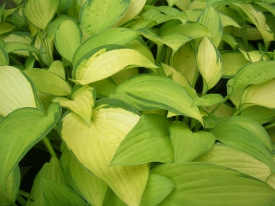 Hosta  'Gold Standard' 1 x bare root plant with at least 3 buds