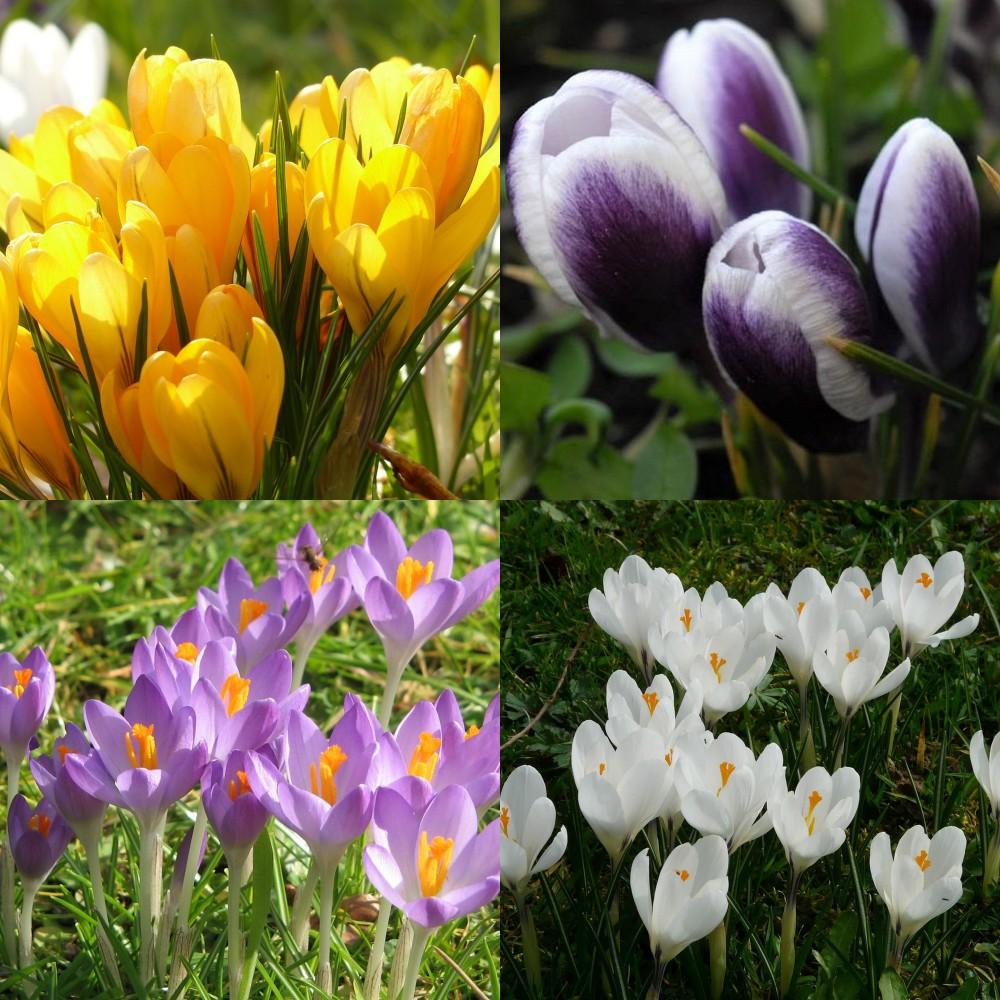 Crocus spring flowering mix mightylinksfo