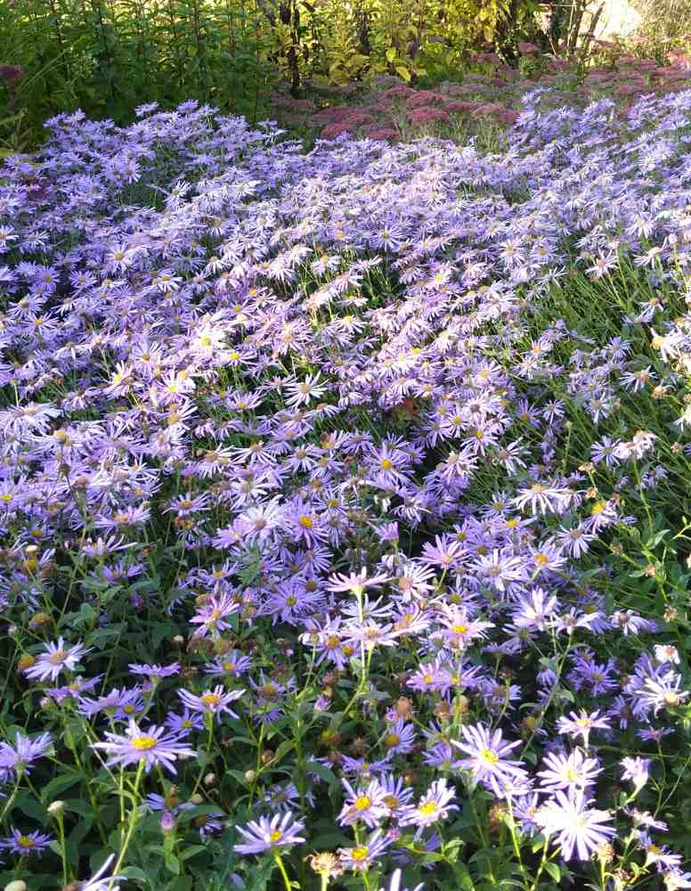 Aster frikartii Monch Young Plant 9cm Pot Michaelmas Daisy