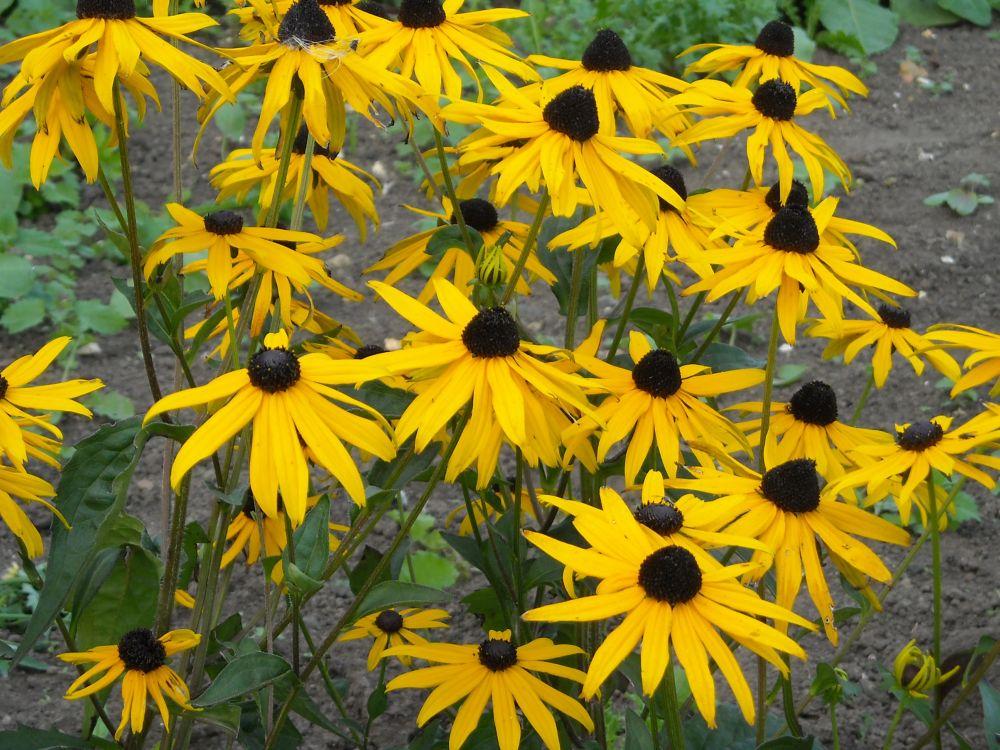 hardy perennial garden plant Rudbeckia fulgida var sullivantii /'Goldsturm/'