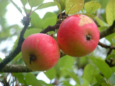 Malus (Apple) domestica 'Discovery'