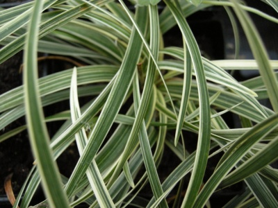 Ophiopogon planiscapus 'Little Tabby'