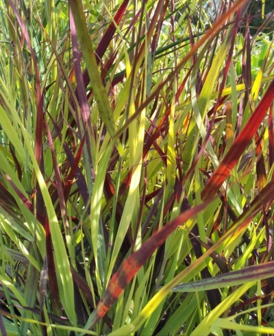 Panicum 'Oxblood Autumn'