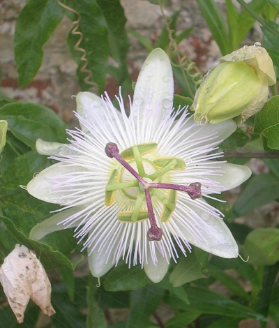 Passiflora  caerulea 'White Lightning'