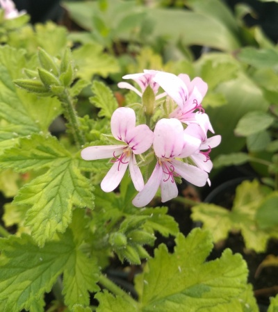 Pelargonium 'Charity'