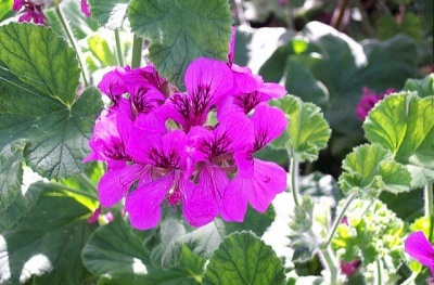 Pelargonium  'Purple Unique'