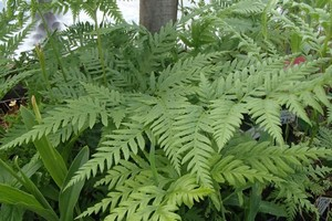 Pteris tremula