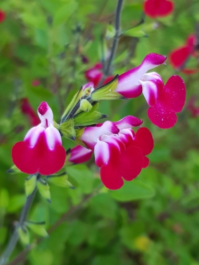 Salvia 'Cherry Lips'