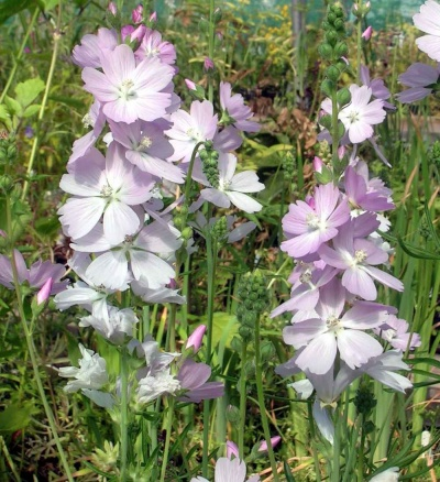Sidalcea   'Elsie Heugh' - 3 bare root plants