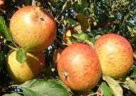Malus (Apple) domestica 'Cox's Orange Pippin'