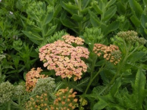 Achillea  'Old Brocade'