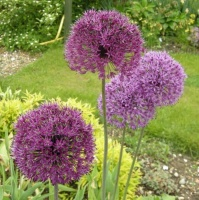 Allium hollandicum 'Purple Sensation' (100)