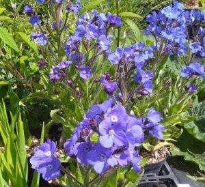 Anchusa azurea 'Loddon Royalist' - 3 bare root plants