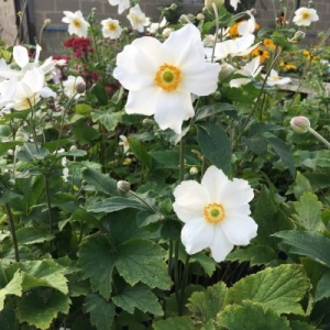 Anemone hybride 'Coupe d'Argent' x 3 bare root plants