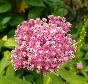 Asclepias incarnata 'Cinderella' - 3 bare root plants