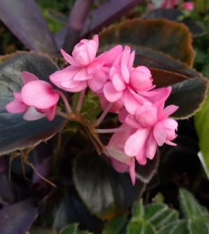 Begonia - double pink (?'Lady Francis')