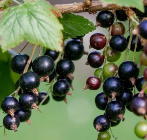 Blackcurrant 'Ben Hope'