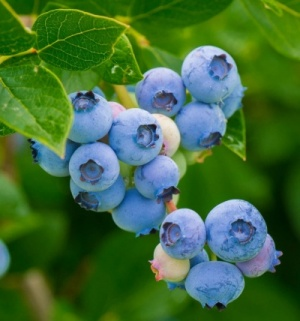 Blueberry 'Blue Crop'