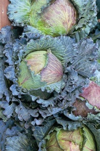 Cabbage  January King - Seeds