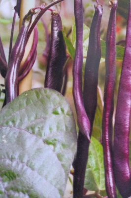 Climbing French Bean Cosse Violette Seeds