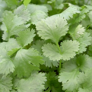 Coriander Leisure Leafy - Seeds