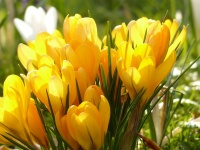 Crocus  'Goldilocks'