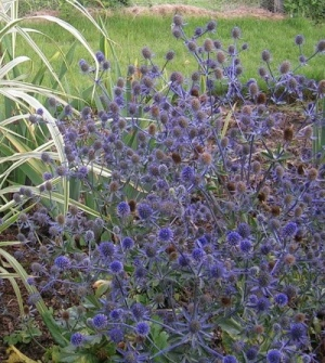 Collection of 6 Plants for Coastal Gardens