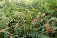 Collection of 12 Hardy Ferns