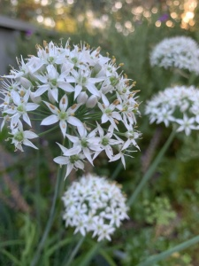 Chives Garlic - Seeds