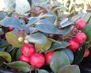 Gaultheria procumbens 'Very Berry'