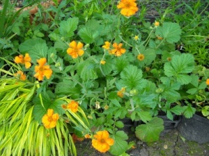 Geum  'Princes Juliana'