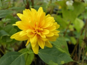 Helianthus  'Loddon Gold'