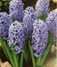 Hyacinth  'Blue Star'