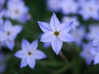 Ipheion uniflorum 'Wisley Blue'