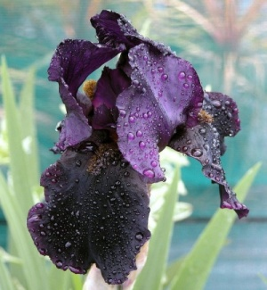 Iris 'Black Swan' (TB)  - Bare root