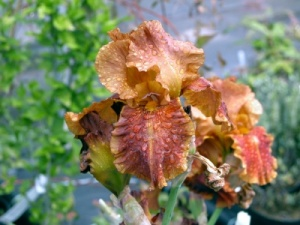 Iris 'Carnival Time' (TB) - Bare root